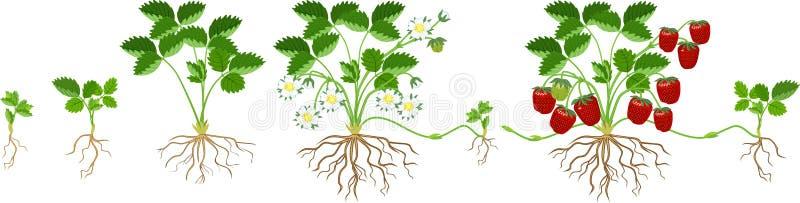 Lebenszyklus der Erdbeere lokalisiert auf wei?em Hintergrund Pflanzenwachstumsstadium von Samen zu Erdbeeranlage mit reifen Beere vektor abbildung