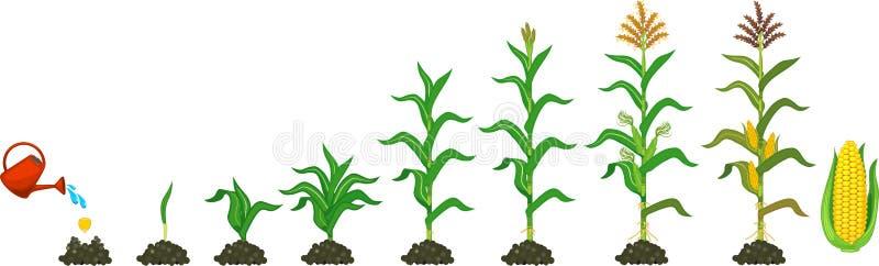 Lebenszyklus der Maismaisanlage Wachstumsstadien vom Samen zur blühenden und Samenanlage lokalisiert auf weißem Hintergrund vektor abbildung