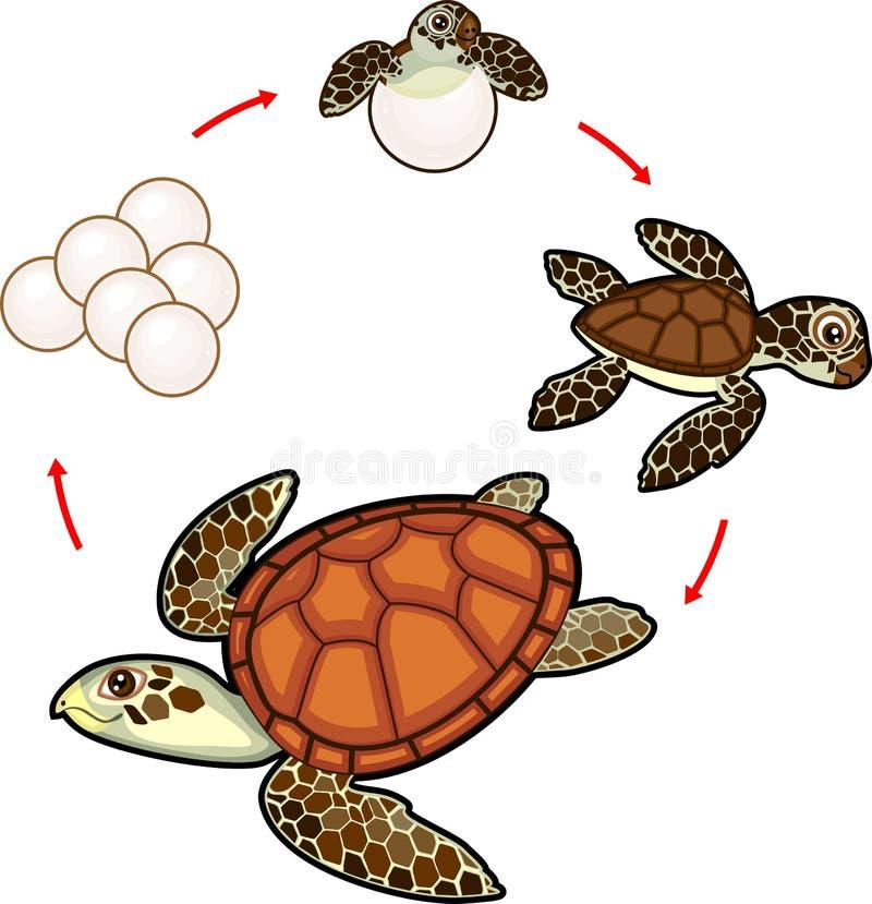 Lebenszyklus der Meeresschildkröte Reihenfolge von Entwicklungsstufen der Schildkröte vom Ei zum erwachsenen Tier stock abbildung