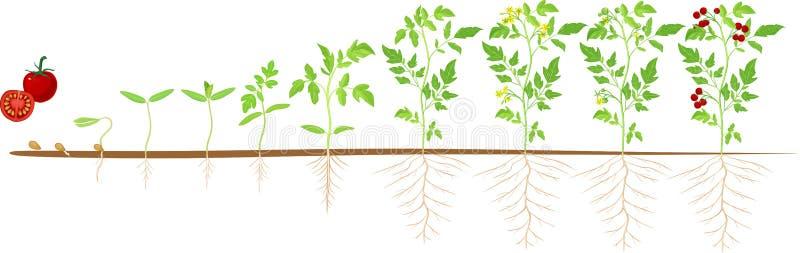 Lebenszyklus der Tomatenpflanze Wachstumsstufen vom Samen und vom Sprössling zur erwachsenen Anlage mit Früchten stock abbildung