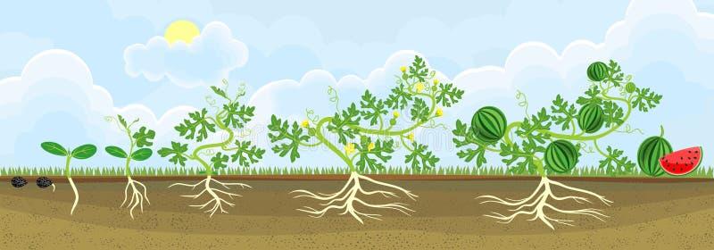 Lebenszyklus der Wassermelonenanlage Stadien des Wassermelonenwachstums vom Samen zur erwachsenen Anlage mit Früchten stock abbildung
