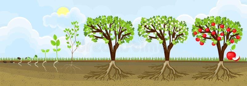 Lebenszyklus des Apfelbaums Wachstumsstufen vom Samen zur erwachsenen Anlage mit Früchten stock abbildung