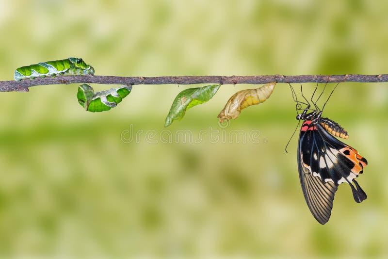 Lebenszyklus des großen mormonischen Schmetterlinges lizenzfreies stockbild