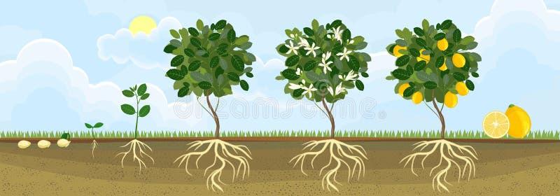 Lebenszyklus des Zitronenbaums Wachstumsstufen vom Samen und vom Sprössling zur erwachsenen Anlage mit Früchten stock abbildung