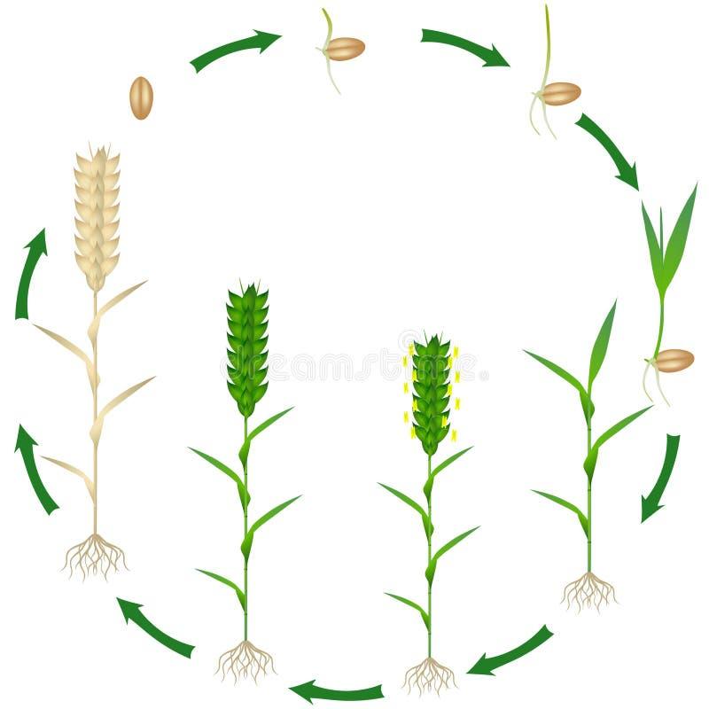 Lebenszyklus einer Weizenbetriebsanlage auf einem weißen Hintergrund vektor abbildung