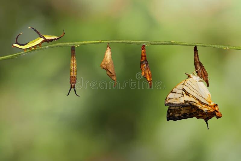 Lebenszyklus gemeinen Karte Cyrestis-thyodamas Schmetterlinges von Ca stockfoto
