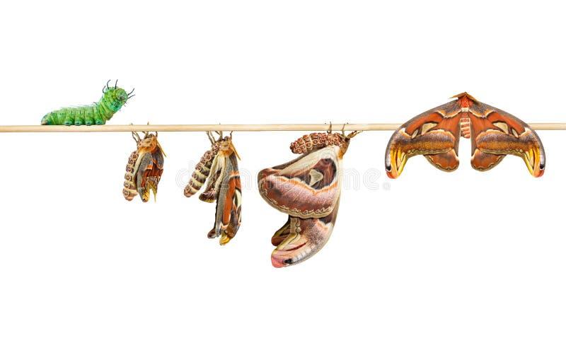 Lebenszyklus von attacus Atlasspinner auf Weiß lizenzfreies stockfoto