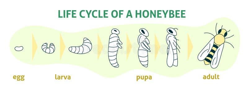 Lebenszyklus von Honey Bee Flache moderne Illustration des Vektors Biologie Infographic Organische Gesch?ftsproduktion des Honigs lizenzfreie abbildung