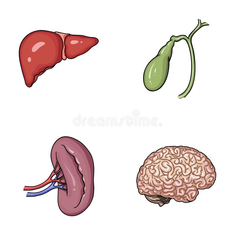 Leber, Gallenblase, Niere, Gehirn Menschliche Organe Stellten ...
