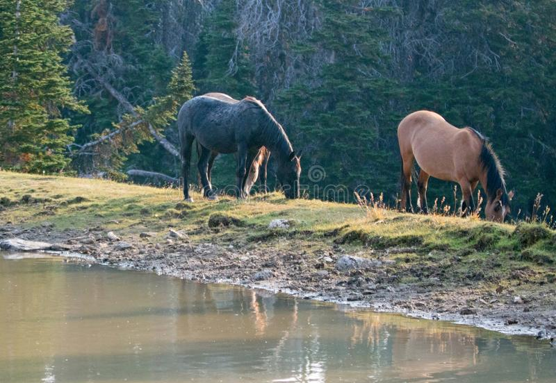 Leber-Kastanien-Bucht Roan Stallion und dunkle Stute, die nahe bei waterhole in der Pryor-Gebirgswildes Pferdestrecke in Montana  lizenzfreie stockbilder