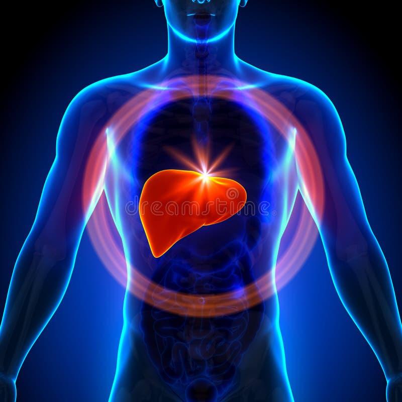 Leber - männliche Anatomie von menschlichen Organen - Röntgenstrahlansicht stock abbildung