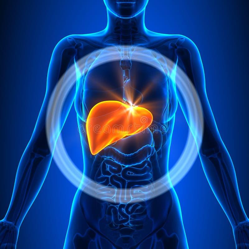 Leber - Weibliche Organe - Menschliche Anatomie Stock Abbildung ...