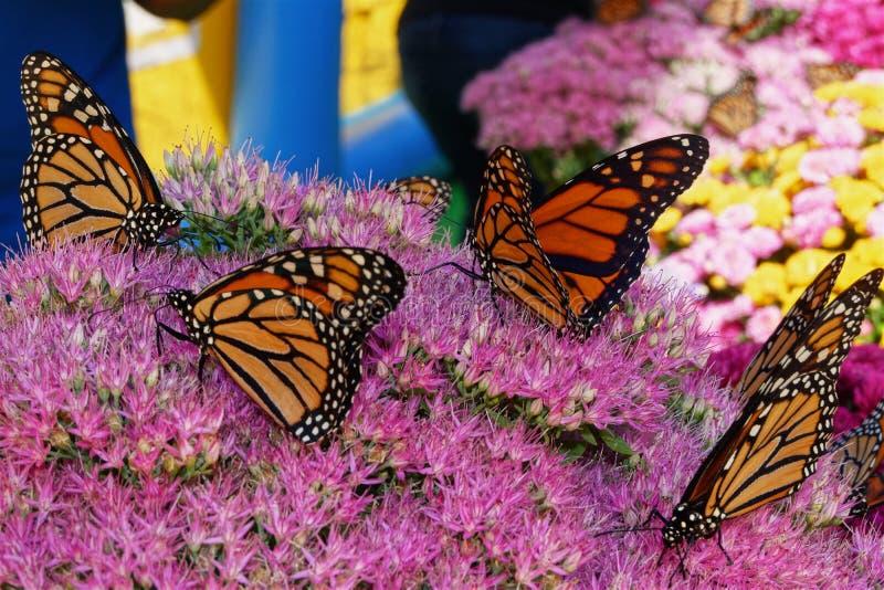 Lebhafte Schmetterlinge ruhen auf violetten Blumen lizenzfreies stockfoto