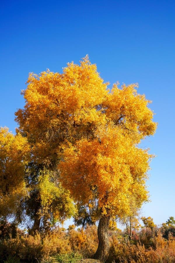 Lebhafter goldener Populus im Herbst stockfotografie