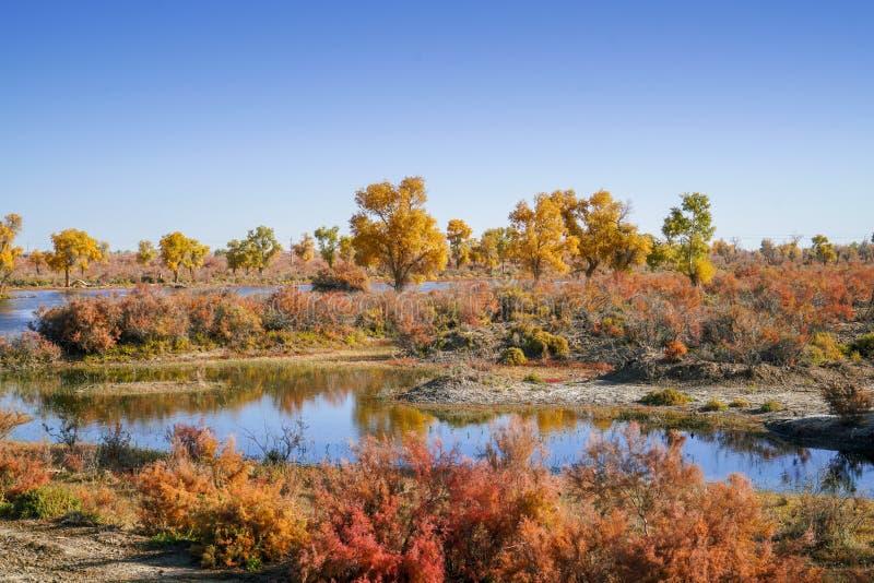 Lebhafter goldener Populus im Herbst stockbilder