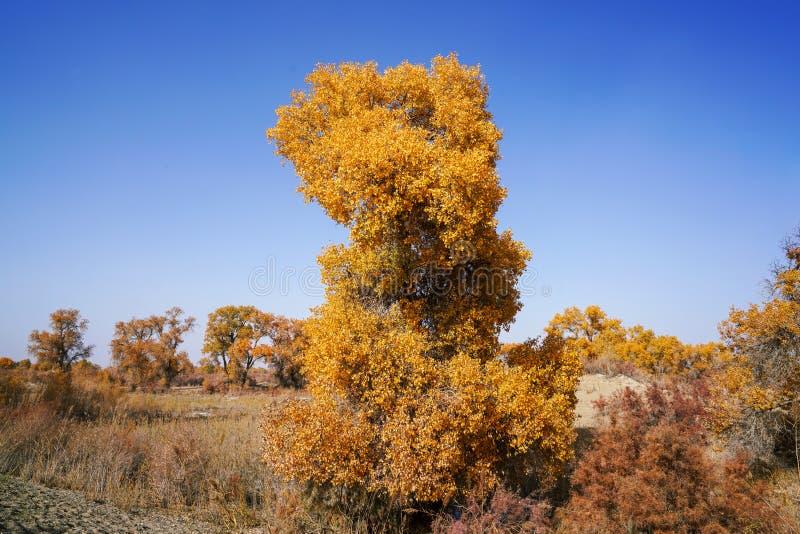 Lebhafter goldener Populus im Herbst lizenzfreie stockfotografie