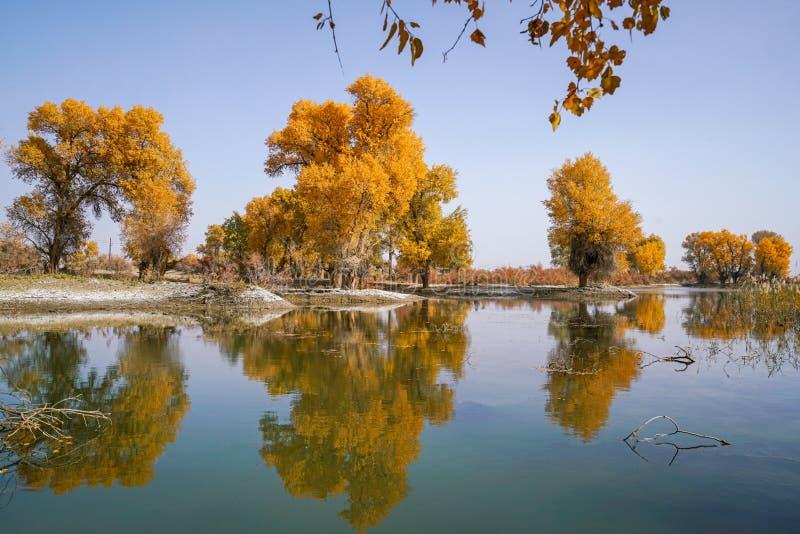 Lebhafter goldener Populus im Herbst durch Fluss Tarim lizenzfreie stockfotos