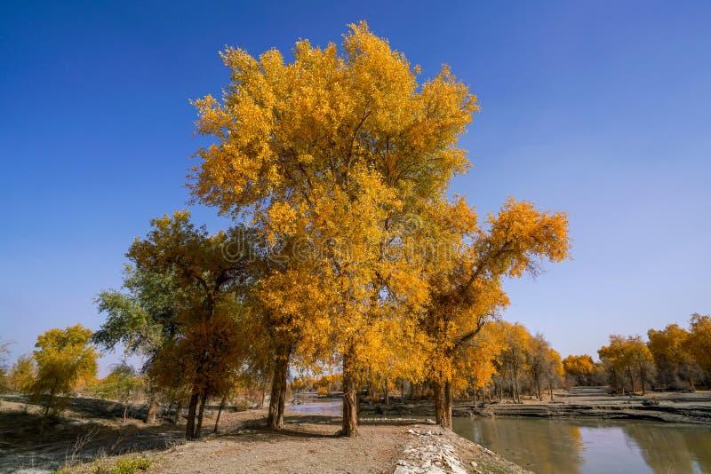 Lebhafter goldener Populus im Herbst durch Fluss Tarim stockfotografie