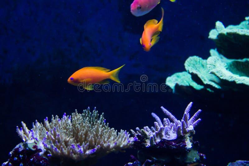 Lebhaftes buntes Wasserleben im dunklen Anzeigenaquarium lizenzfreies stockfoto