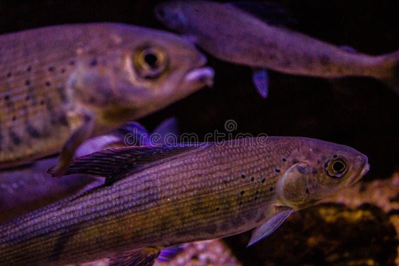 Lebhaftes buntes Wasserleben im dunklen Anzeigenaquarium stockfotografie