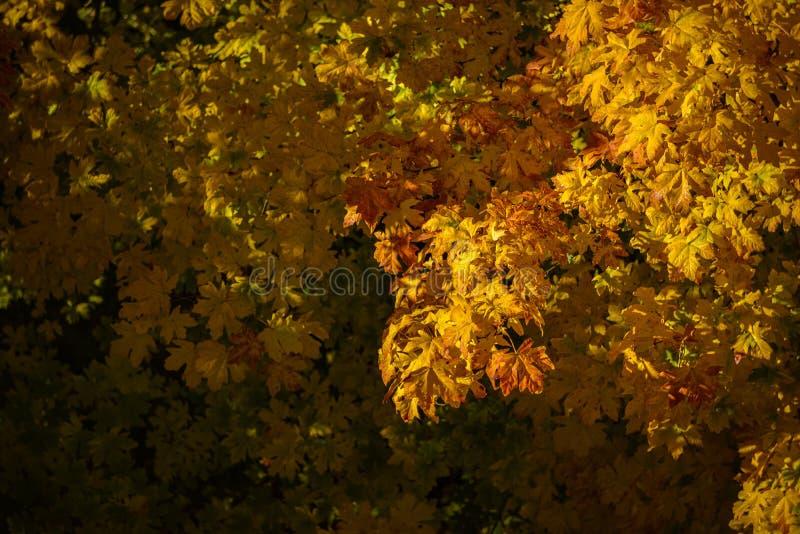 Lebhaftes Orangengold Herbstfarbe des Ahornblätters, der den Wald im Nordwesten des Pazifik bedeckt, Washington, Vereinigte Staat lizenzfreie stockfotos