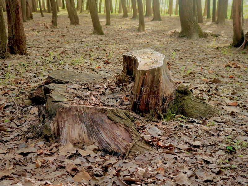Leblose große Tress In Forest Nursery In Kashmir Valley Indien stockbild
