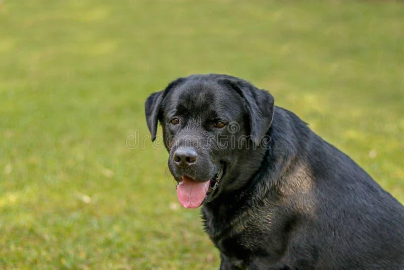 Lebra svart hund som ser konstig royaltyfri bild