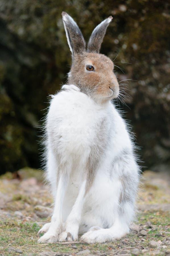 Lebre branca da montanha (lat. Timidus do Lepus) imagem de stock