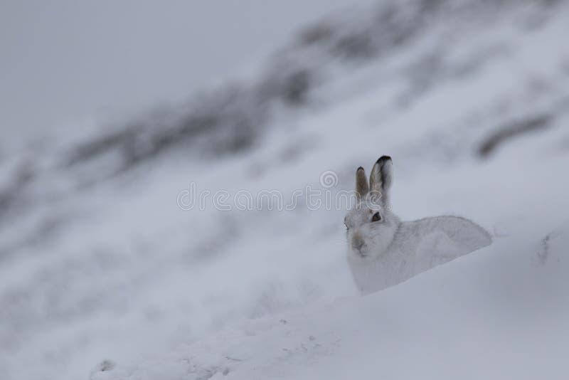 Lebre da montanha com o revestimento do inverno na mistura da neve e da terra desencapada fotografia de stock