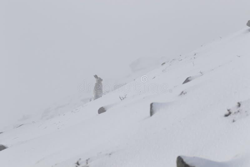 Lebre da montanha, timidus do Lepus, durante outubro ainda no revestimento do verão cercado pela neve nos quartzos defumados NP,  fotografia de stock royalty free