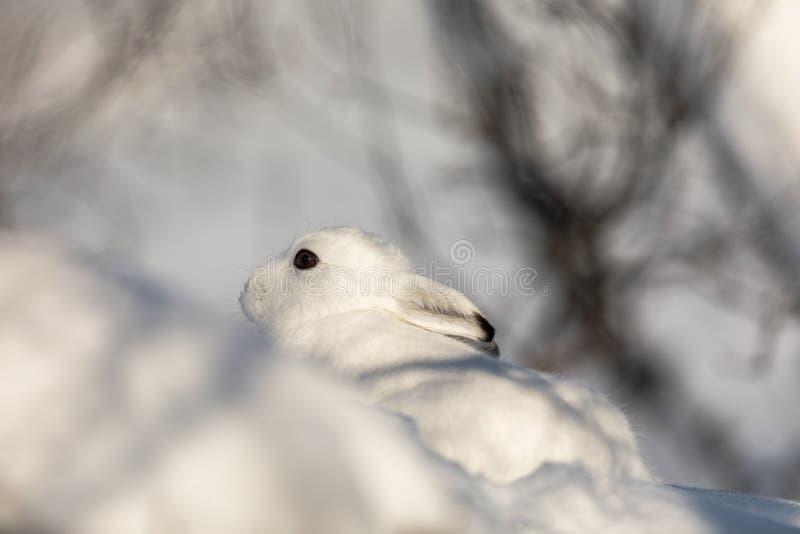 A lebre da montanha, timidus do Lepus, no pelage do inverno, escondendo na paisagem nevado do inverno em Setesdal, Noruega foto de stock royalty free