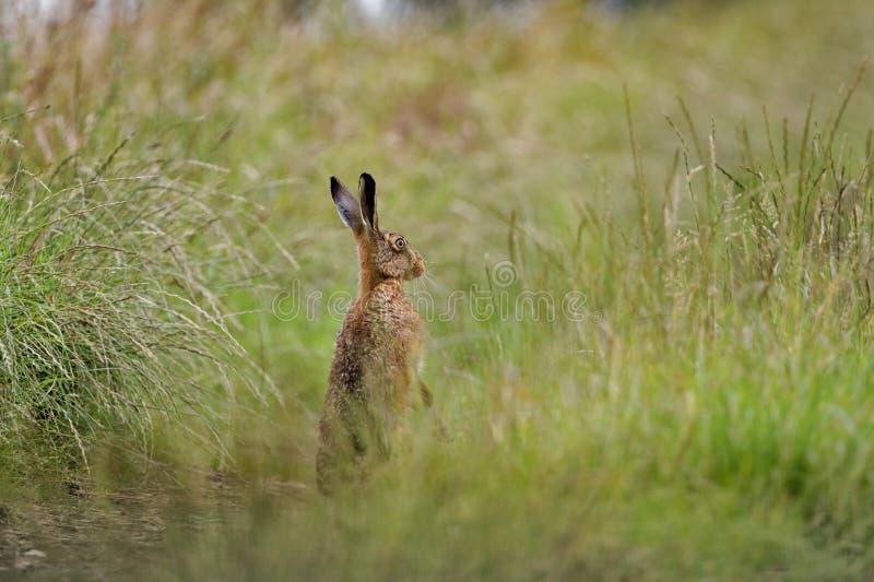 Lebre de Brown no alerta da grama nos pés traseiros molhados do banho na poça (europaeus do Lepus) imagens de stock
