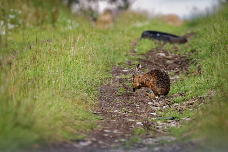 A lebre de Brown no trajeto, grandes orelhas de limpeza, molhou do banho na poça (o europaeus do Lepus) foto de stock royalty free