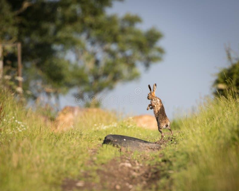 A lebre de Brown no trajeto, no pulo completo, molhou do banho na poça (o europaeus do Lepus) foto de stock royalty free