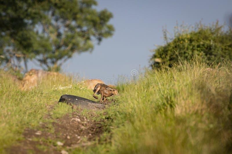 Lebre de Brown que persegue na grama na alta velocidade (europaeus do Lepus) imagem de stock