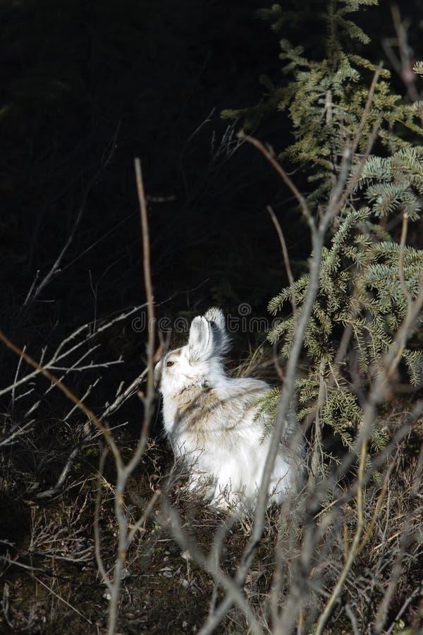 Lebre de Snowshoe, selvagem, sunbathing foto de stock