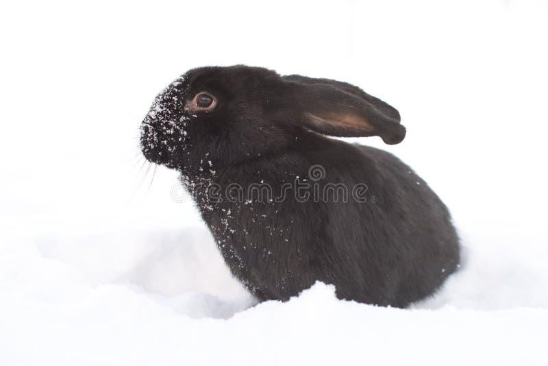 Lebre no inverno fotografia de stock