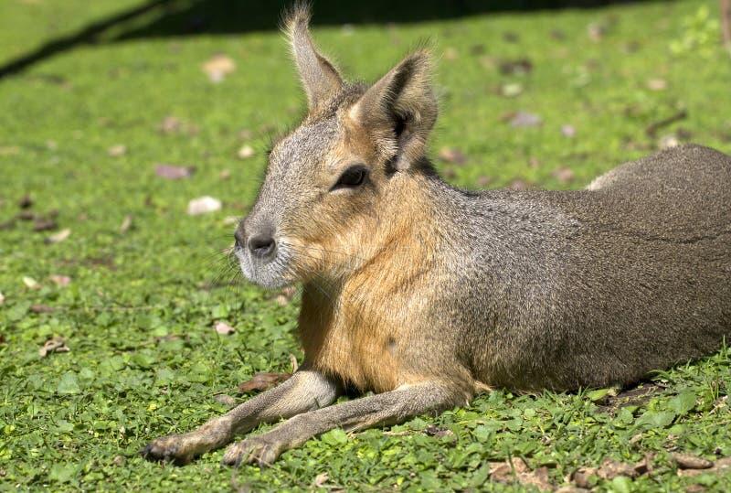 Lebre ou mara patagonian 1 imagem de stock