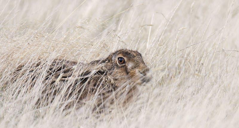 Lebre selvagem que esconde na grama longa Gênero Lepus fotos de stock