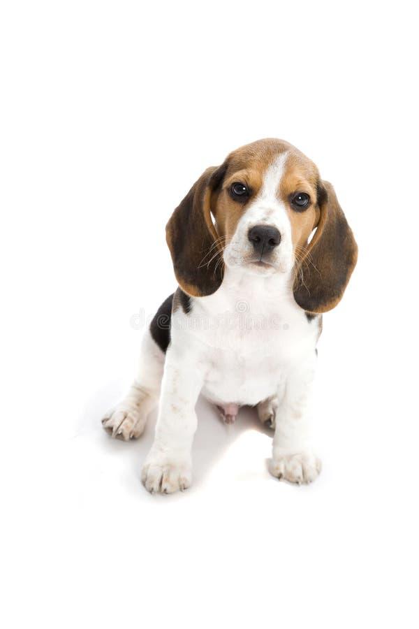 Lebreiro do filhote de cachorro fotografia de stock royalty free