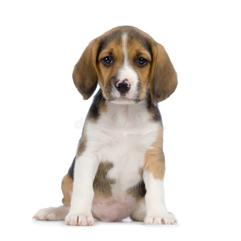 Lebreiro do filhote de cachorro foto de stock royalty free