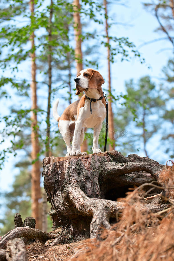 Lebreiro na floresta imagens de stock royalty free
