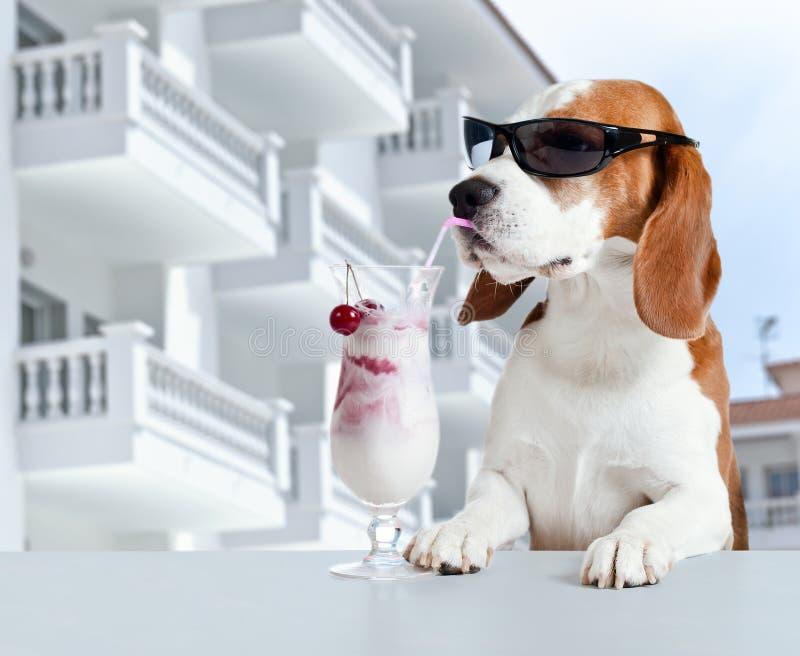 Lebreiro no cocktail da bebida dos óculos de sol imagens de stock royalty free
