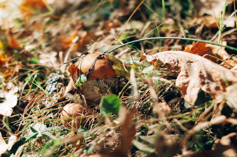 Leccinum aurantiacum mushrooms in autumn leaves and grass in  sunny woods. Picking mushrooms in forest. Leccinum with fall leaves. Copy space. Mushroom hunting royalty free stock photos