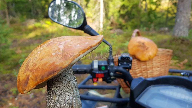 Leccinum aurantiacum red-capped scaber stalk red mushroom, boletus on blurred background of quad bikes and sunny forest.  royalty free stock image
