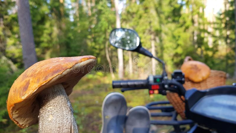 Leccinum aurantiacum red-capped scaber stalk red mushroom, boletus on blurred background of quad bikes and sunny forest.  stock photo