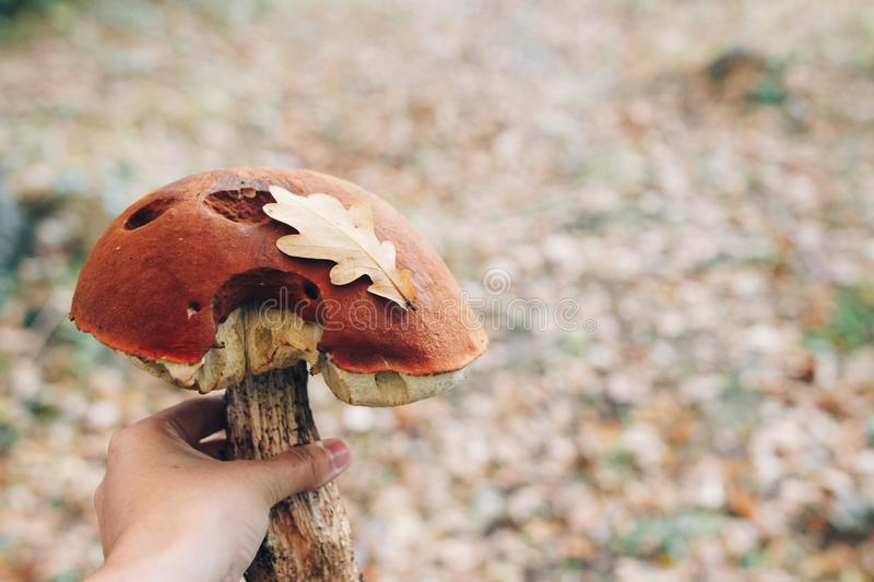 Leccinum aurantiacumin with leaf  in hand on background of sunny woods and fall leaves. Picking mushrooms in forest. Hand holding. Leccinum aurantiacumin with royalty free stock image