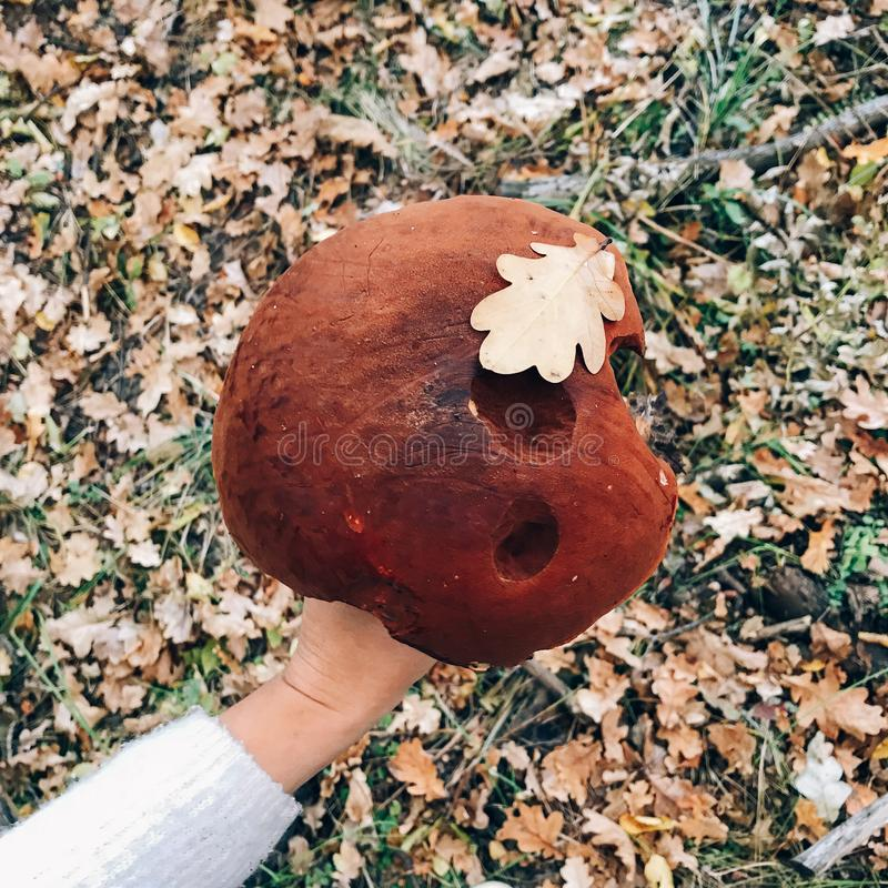 Leccinum aurantiacumin with leaf  in hand on background of sunny woods and fall leaves. Picking mushrooms in forest. Hand holding. Big mushroom in autumn woods royalty free stock photo