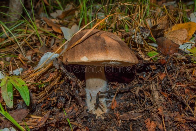 Leccinum boletus edulis. Mushroom in the dark forest. Mushroom  closeup. Soft selective focus stock photography
