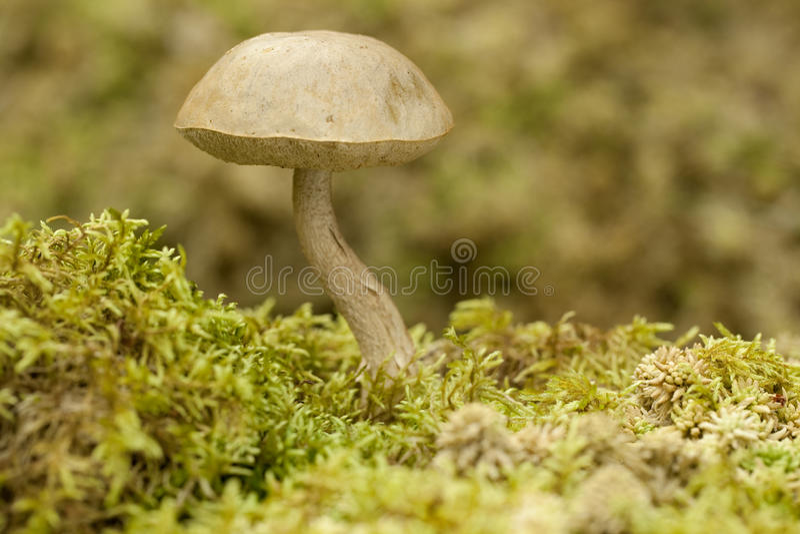 Leccinum holopus. Edible mushroom Leccinum holopus on green moss royalty free stock image
